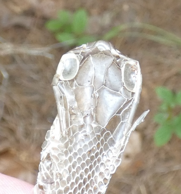 head of shed snake skin