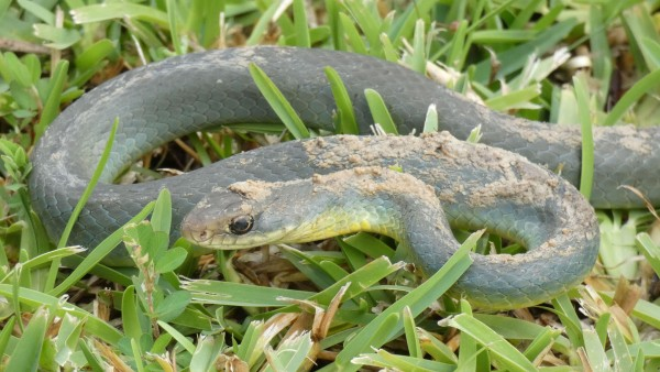 Eastern Yellow-bellied Racer, Coluber constrictor flaviventrus.