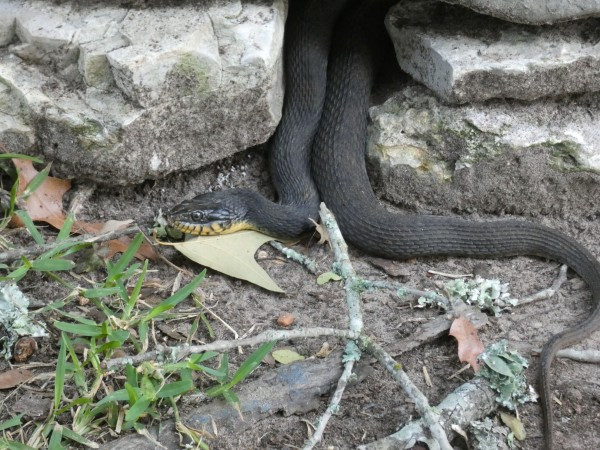 Yellow-bellied Water Snake, Nerodia erthrogaster