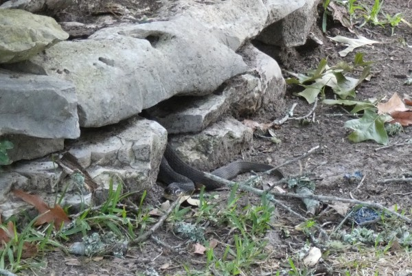 snake hiding in rocks