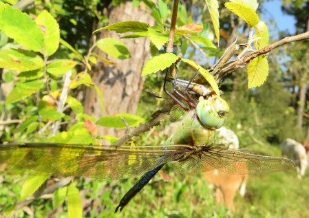 dragonfly eating a smaller dragonfly
