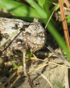 grasshopper face close-up