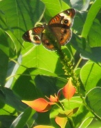 buckeye butterfly on tallow tree