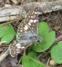 common checkered skippert