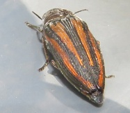 red and brown striped insect
