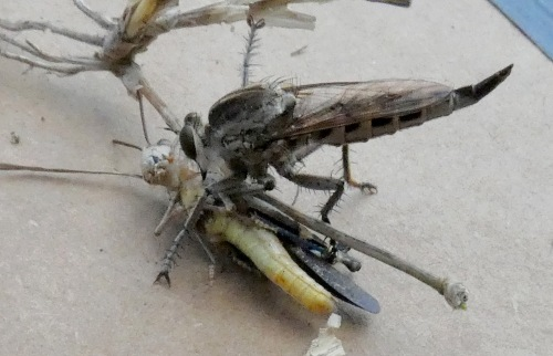 robber fly and grasshopper