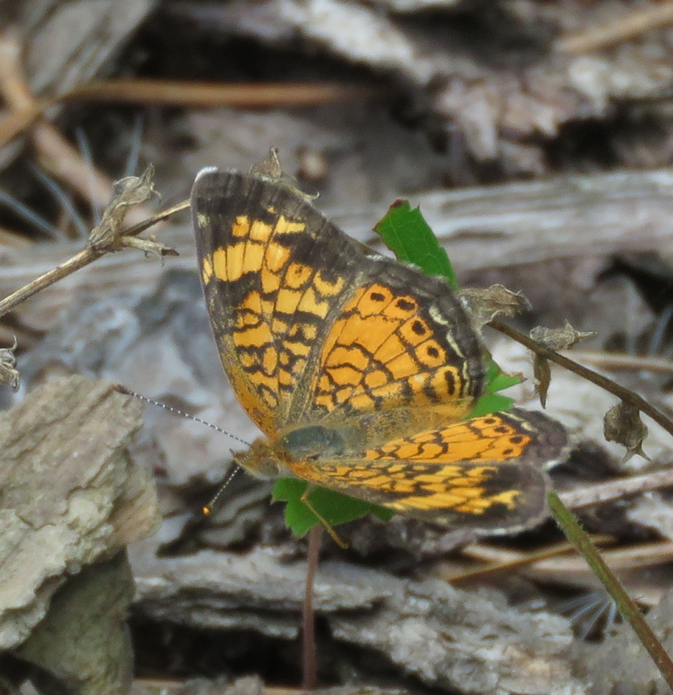 Pearl Crescent, Phycoides tharos
