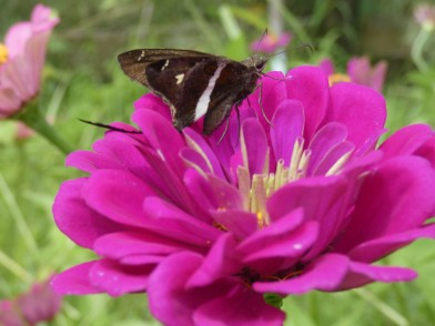 white-striped longtail butterfly on zinnia