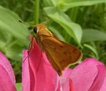 skipper butterfly on zinnia