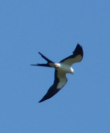 Mississippi Kite.