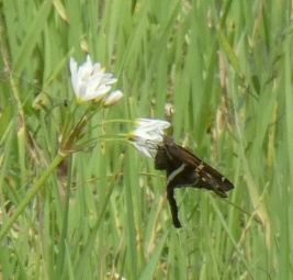 White-striped Longtail.