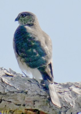 Coopers or Sharp-shinned.