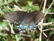 spicebush female e