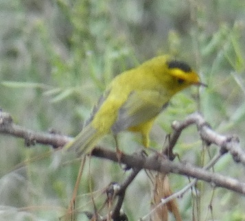 A Wilson's Warbler -- not a good picture, but they are only here during migration, so it is a proof of fall!