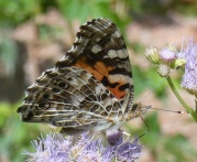 Painted Lady on ageratum flowers.