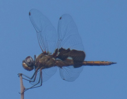 Red Saddlebags dragonfly (I am pretty sure).