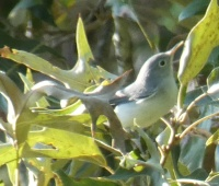 Blue-gray Gnatcatchers become less reclusive in the fall as they chase insects in the trees.