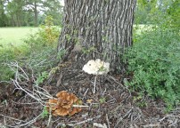 I noticed these two fungi from way across the pasture -- they are as big as chickens!