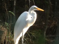 I loved how this Great Egret was spotlighted in the woods.