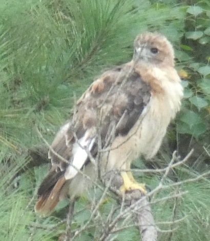 A Red-tailed Hawk molts into its adult plumage, looking less than its intimidating best.