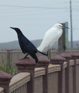 Great-tailed Grackle and Snowy Egret.