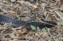 Indigo snake, at Santa Ana Wildlife Refuge.