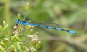 Double-striped Bluet, Enallagma basidens, I think.