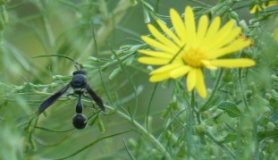Fraternal Potter Wasp, Eumenes fraturnus.