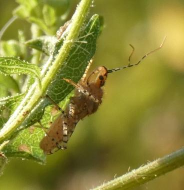 Ringed Assassin Bug, Pselliopus cinctus