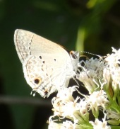 Mallow Scrub-Hairstreak, Strymon istapa