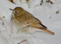 Hermit Thrush in the snow.