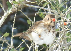 Fluffy Hermit Thrush with a berry.
