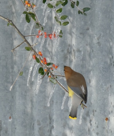 Waxwing picking off berries.