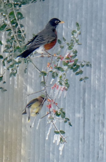 American Robin and Cedar Waxwing going for iced berries.