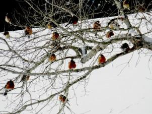 American Robins.