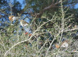 Robins and Hermit Thrushes clearing off a yaupon bush.